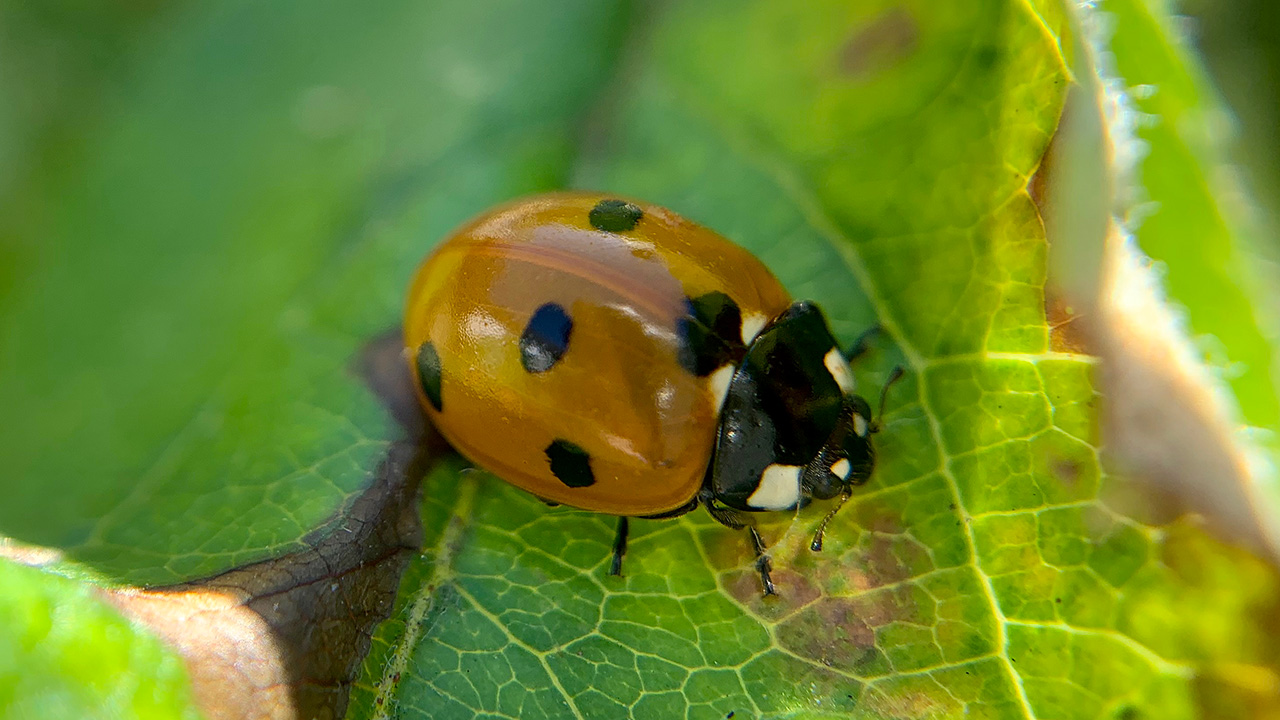 Coccinelle Europe